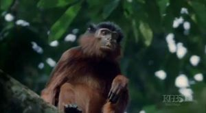 Kendine taştan alet yapan ve para kullanan akıllı maymun