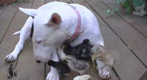 It takes 1 patient cat and 6 Jack Russell pups to make a happy family