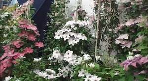 Clematis in a Pot