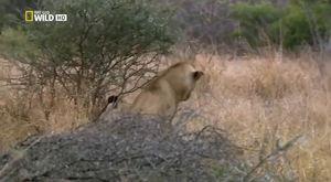 Vahşi Yolculuk Botsvana  Türkçe Hayvan Belgeseli  National Geographic