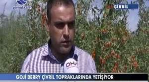 Goji Berry Yetiştiriciliği ve Mustafa Aslan