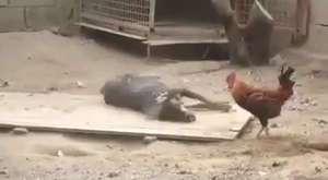Hayat Bir Savaştır | Aslanların Fil Avı
