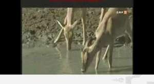Piton geyiği böyle avladı