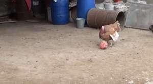 Top oynamayı öğrenen hindi, yılbaşında kesilmekten kurtuldu