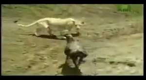 Afrikada Aç Aslanın İnanılmaz Avlanma Tekniğini Görünce Gözlerinize İnanamıyacaksınız !