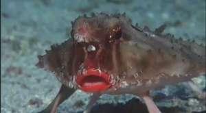 İlginç Yarasa Balığı