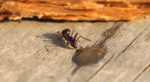 Votka Damlası İçen Karınca