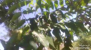 Demir dikeni otunun çoban çökerten otunun yaprakları tohumları çayının faydaları yararları nelerdir
