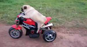 Köpeğin araba şürüşü  ...:D