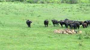 Dramatic..!! Lion vs Buffalo