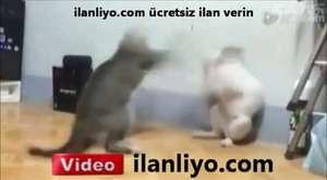 Boxing Cats - Boksör Kediler