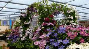 Thorncroft Clematis Chelsea Preview 2014 part 1