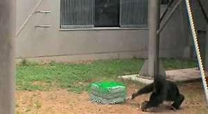 Vahşi maymunlar kendilerine ilaç yapıp parti veriyor