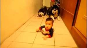 Bebek emeklemesi taklidi yapan alaska kurtları.