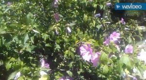 Dar yapraklı sinirli otunun yaprakları çayının faydaları yararları sinirli ot faydaları yararları