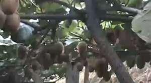 Meyvaliköyü Fındıklı