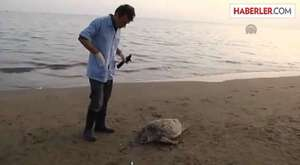 Mezitli Sahilinde Ölmüş Halde Caretta Caretta Bulundu