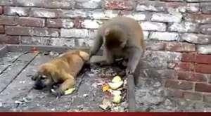 PİÇ MAYMUN ( Bu Maymun Manyak )