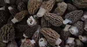 Kuzu Göbeği Mantarı (Morcella spp.)