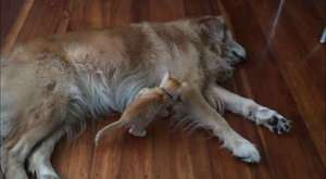 Wolf dog sings to soothe crying baby
