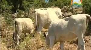 Boz Sığır ırkı