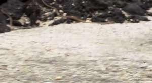 İguananın Yılanlardan mucizevi kaçışı