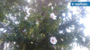 Böğürtlen bitkisinin yaprakları böğürtlen kökleri meyvesinin çayının faydaları yararları nelerdir