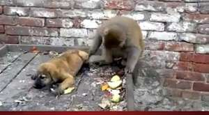 2 Maymunun İnanılmaz Görsel Hafızası