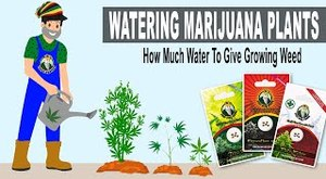 WATERING MARIJUANA PLANTS - How Much Water To Give Growing Weed - Crop King Seeds