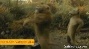 Aslanlardan Fener Ağlama  :D  hahahahah