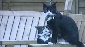 Korkak Kediler
