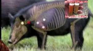 Fare gibi kaçışıyorlar domuzlar