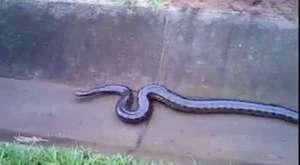 Caddede doğum yapan anakondayı araba ezdi