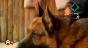 Köpeklerde Distemper Hastalığı